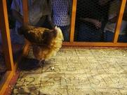 Austin Photo: Places_food_ginnys little longhorn saloon_chicken shit bingo