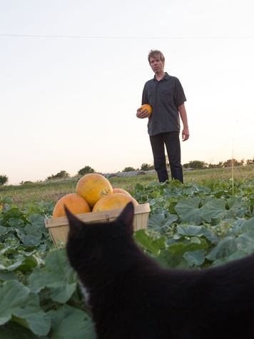 Israeli melons being harvested