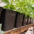 Photo of Dutch buckets growing kale