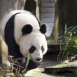 Tian Tian_Panda
