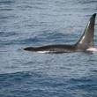 News_UnAlaska_Killer Whale
