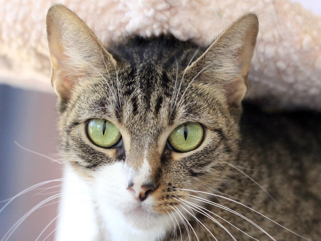 Shy the cat at the SPCA of Texas