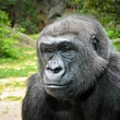 Houston Zoo gorillas profiles February 2015 Julie_Larsen_Maher_0377_Western_Lowland_Gorilla_Holli