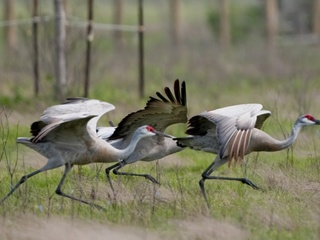 """Galveston Island Nature Tourism Council's """"Breakfast with the Sandhill Cranes"""""""