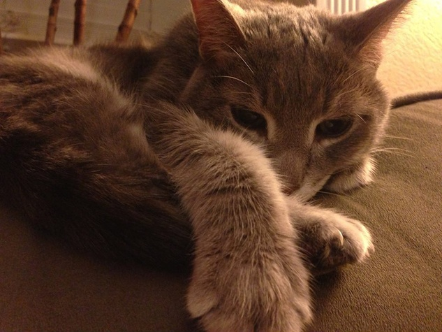 Austin Pets Alive! Angel the senior cat curled up