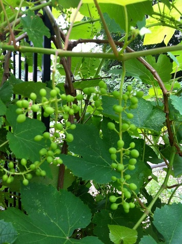 Grapes at Promise of Peace Garden