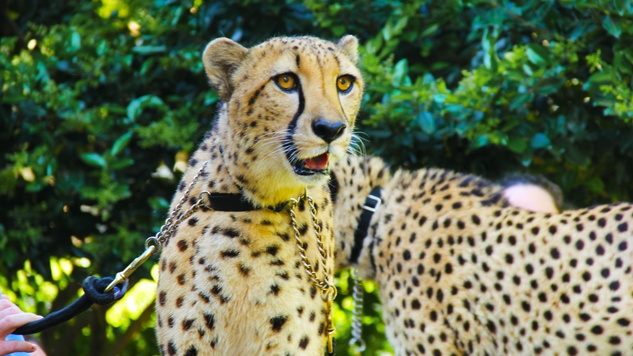 2 Cheetah Conservation and The Houston Zoo Event March 2015