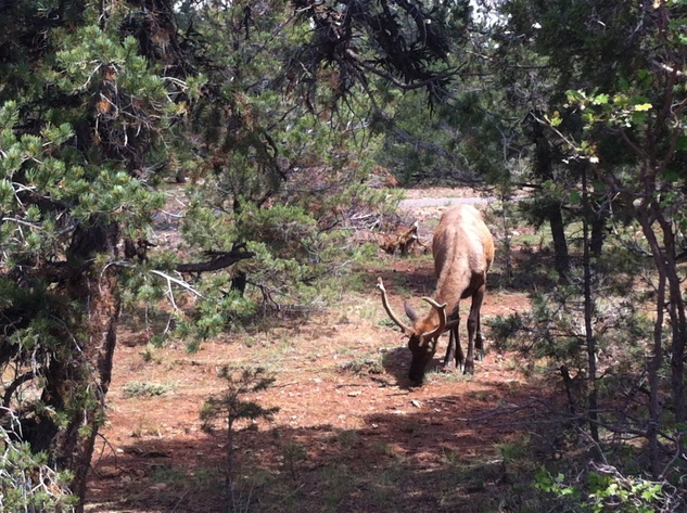 Elk in Grand Canyon