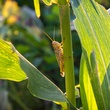 Photo of grasshopper on corn stalk
