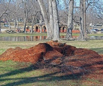 White Rock Lake tree