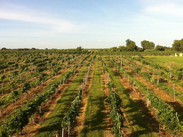 Joel, Messina Hof, July 2012, vineyard