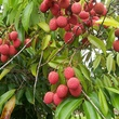 Lychee tree with fruit