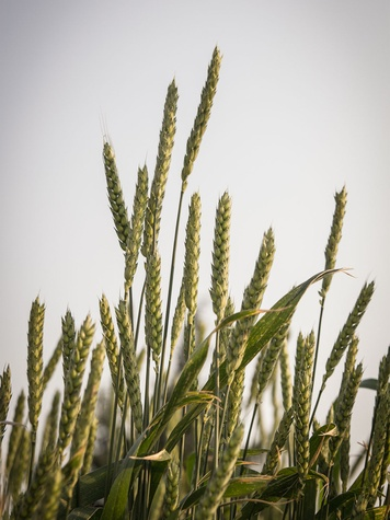Wheat grows on a North Texas farm.