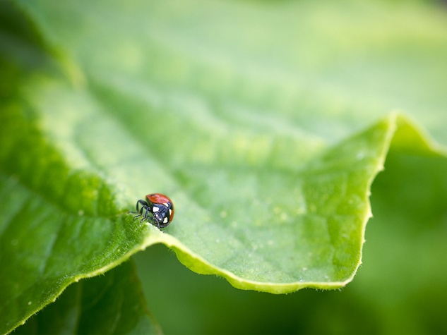 Photo of ladybug on cucumber leaf