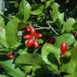 Miracle Fruit red berries can be grown in containters or as trees
