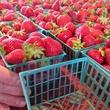 Austin Photo: Places_Food_Boggy Creek Farm_Strawberries