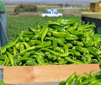 Hatch Chiles on truck bed