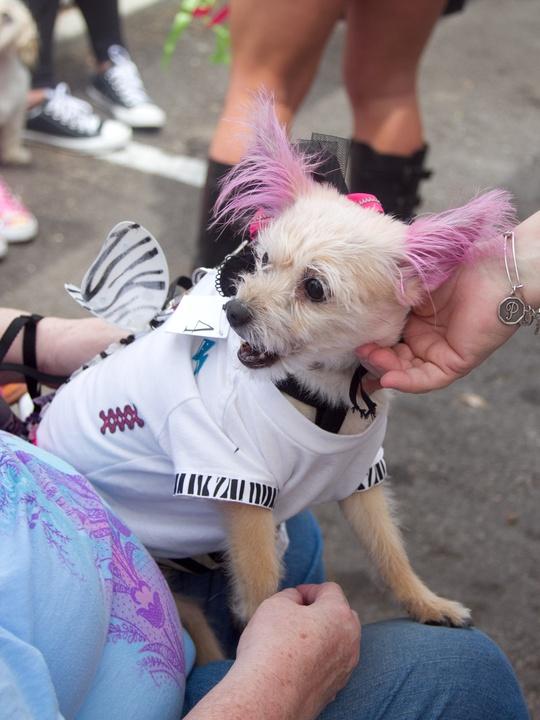 Easter Pet Parade on South Congress 2014 Dog Pink Fur Tickles