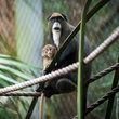 baby primates at the Houston Zoo December 2014 De_Brazza_s_Baby_Nov_2014