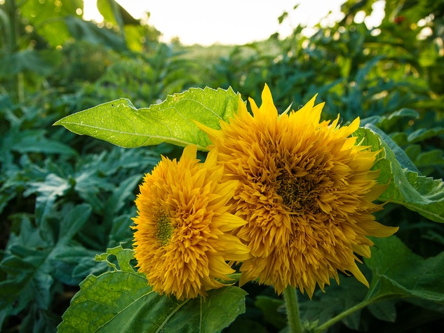 Picture of Teddy Bear sunflowers