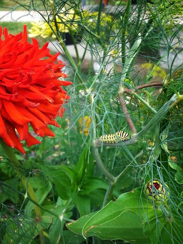 Photo of swallowtail butterfly caterpillar on dill