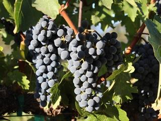 Wine Grapes at Frank Family Vineyards