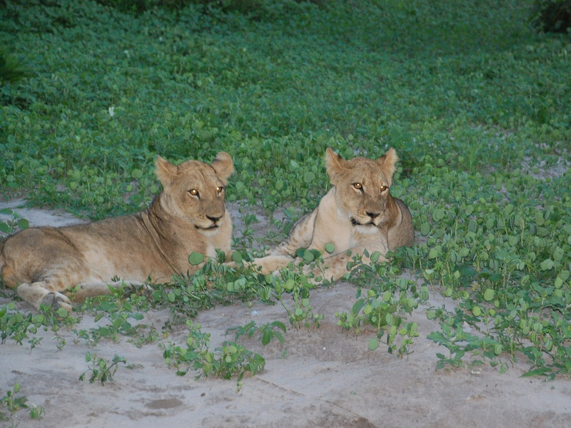 News_Lauren Levicki_Africa_two lion cubs, est age, 2 years old