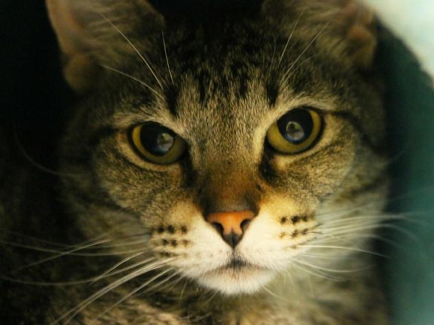 headshot of Helena the cat APA! pet of the week