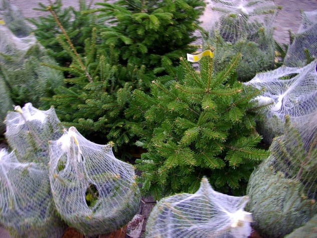 Christmas trees, recycling, December 2012