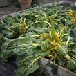 Photo of frozen Swiss chard