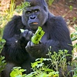 Houston Zoo gorillas profiles February 2015 Ajari