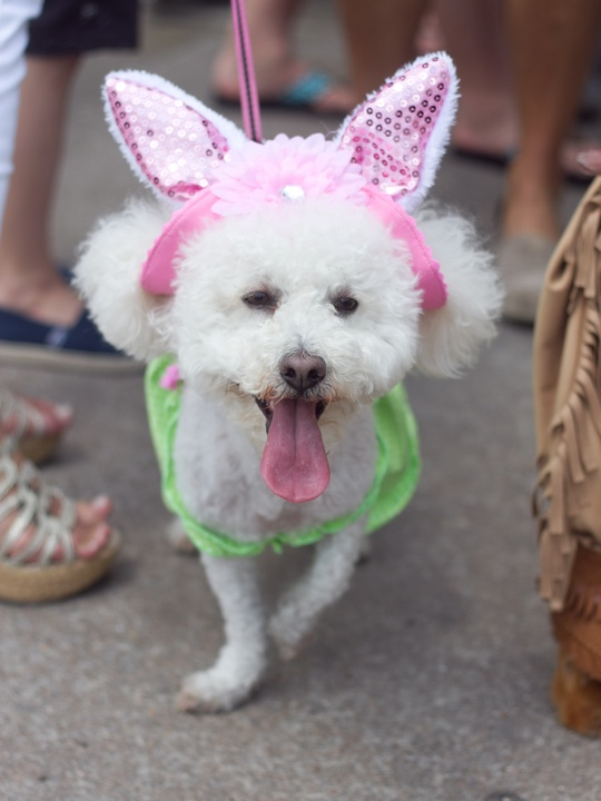 Easter Pet Parade on South Congress 2014 Gracie Austin's Flower Child
