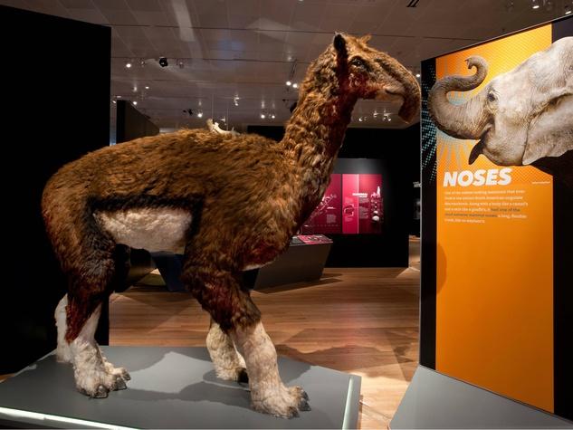 Extreme Mammals exhibit noses