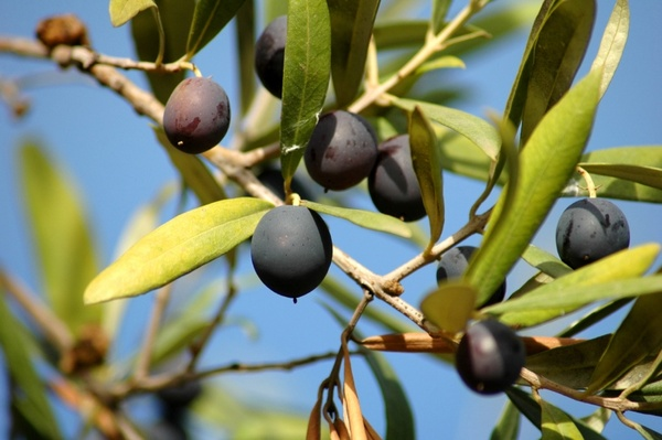 News_olive tree_olives_branch