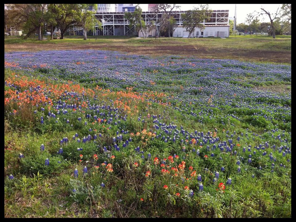 Houston It's Worth It, Rice, bluebonnets, wildflowers, September 2012