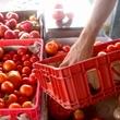 Urban Harvest tomatoes Tomato Fest May 2013 farmers market