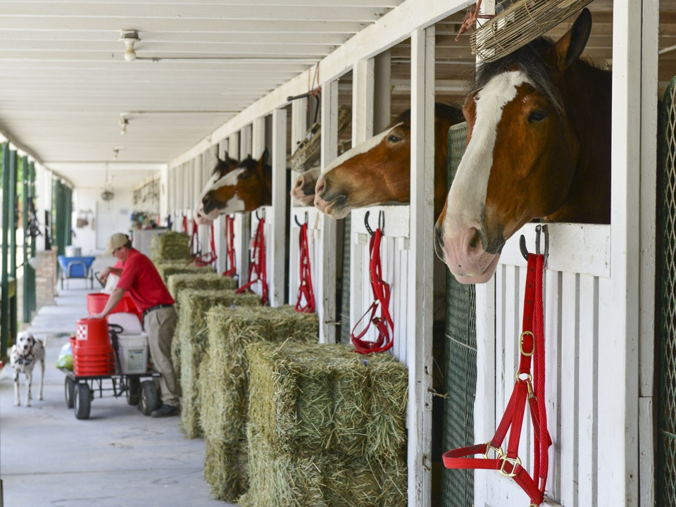 16 Budweiser Clydesdales at Opening Day March 2014
