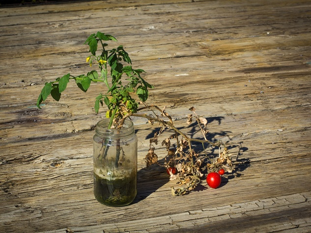Photo of tomato sprigs growing in a mason jar
