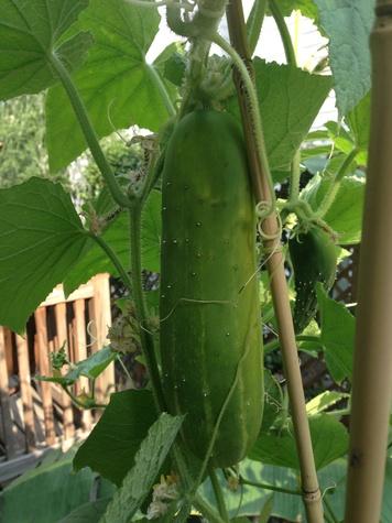 Cucumber grown by Joel Luks