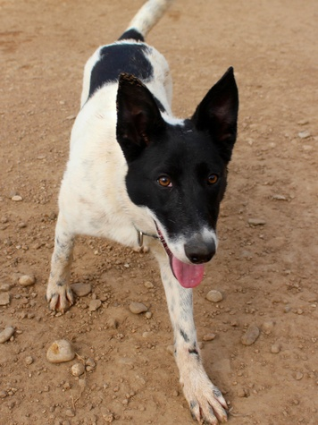 border collie dog APA! pet of the week Mickey Mouse