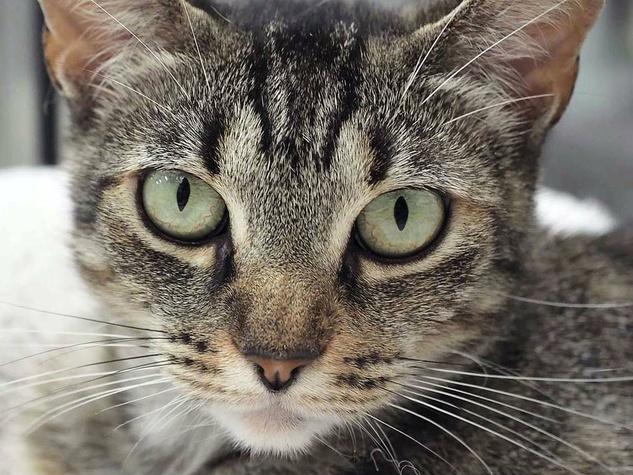 Jingles cat pet of the week of APA! headshot