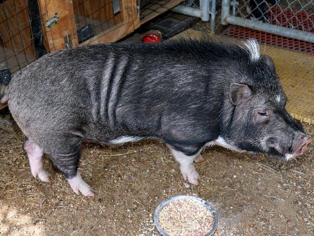 Houston, Hoffman, Astro the pig, November 2017