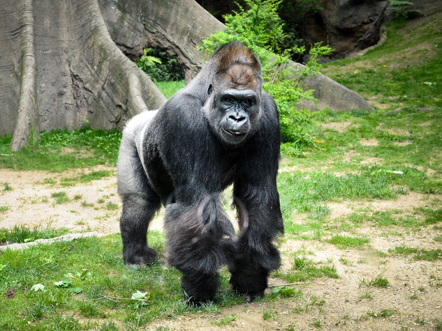 Houston Zoo gorillas profiles February 2015 Julie_Larsen_Maher_0419_Western_Lowland_Gorilla_Zuri