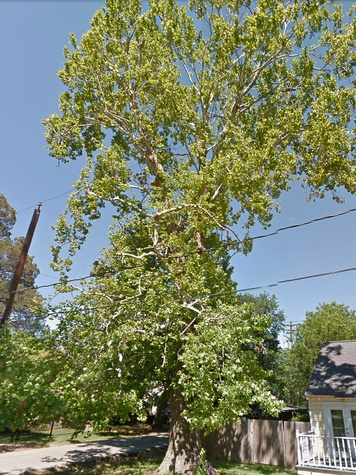 100-year-old American Sycamore tree at 2229 Oxford St. Houston Heights cut down June 2013 before