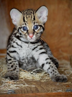 Baby ocelot kitten at the Dallas Zoo