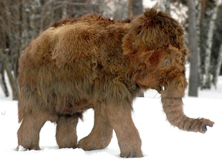Baby woolly mammoth