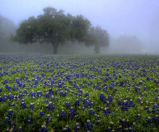 News_wildflowers_bluebonnets_fog
