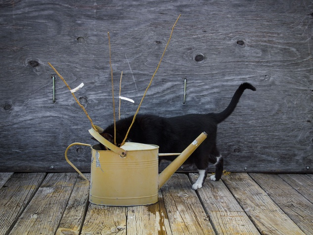 Photo of bare root trees soaking in watering can with cat looking into it.