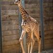 1 baby giraffe at Houston Zoo August 2014