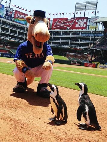 Texas Ranges mascot and penguins at the ballpark